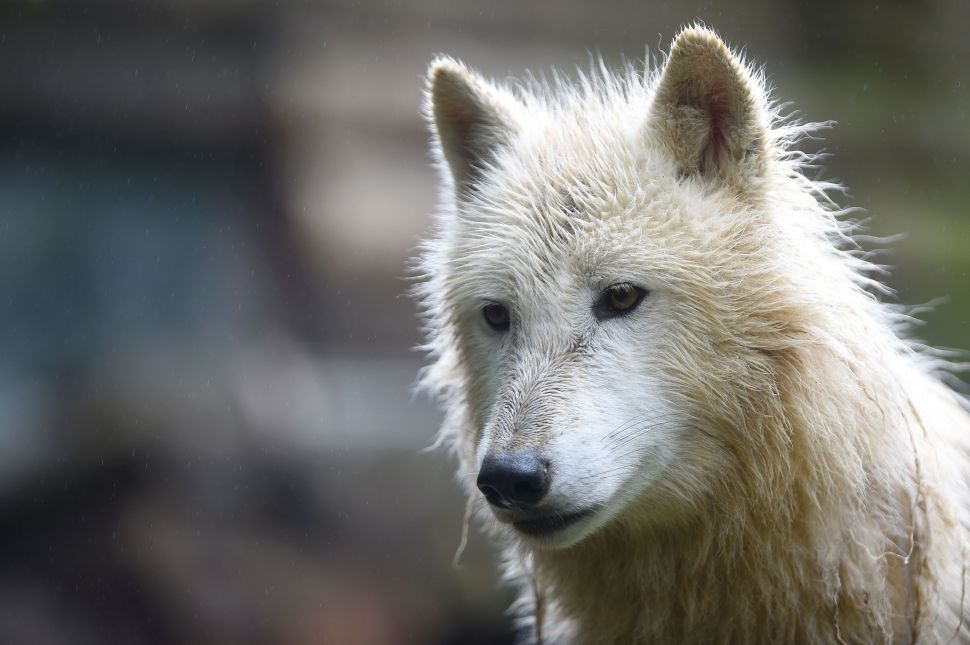 An artic white wolf is pictured on June 2, 2016 at the zoological park of Amneville, eastern France.