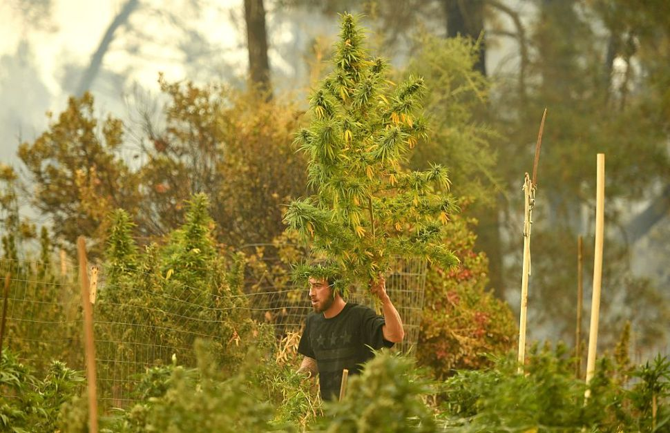 Anthony Lopez recovers what's left of his marijuana crops after the Loma Fire tore through his neighborhood in the Santa Cruz Mountains near Loma Prieta, California on September 27, 2016. The Loma Fire has charred more than 1000 acres and burned multiple structures in the area.