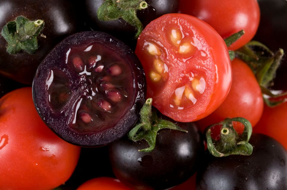 In this handout photo illustration provided by the John Innes Centre UK, purple tomatoes are seen on October 27, 2008 in Norwich, United Kingdom.