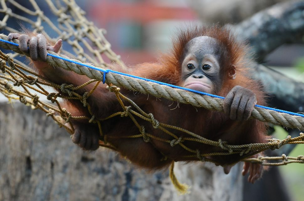 A 10 month old orphaned Bornean Orangutan learns to bite at Surabaya Zoo as he prepares to be released into the wild in Surabaya, Indonesia. )