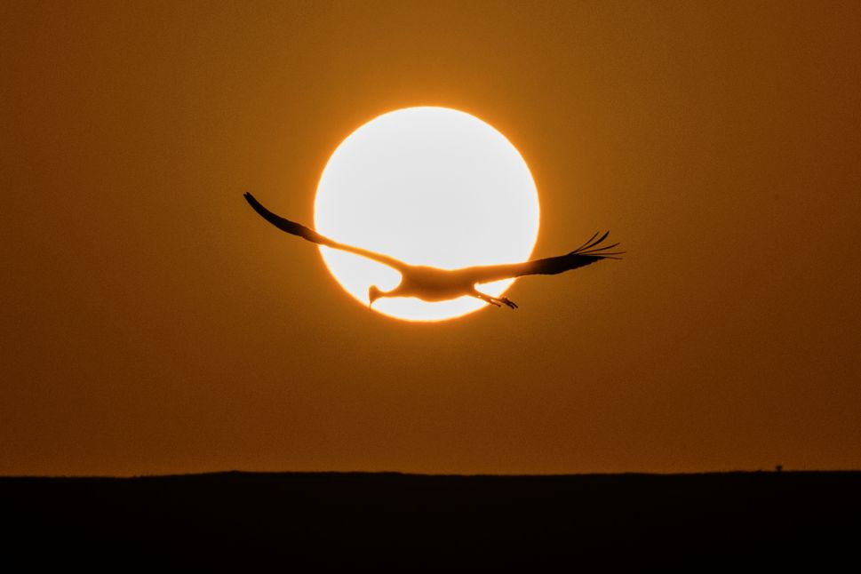 A Gray Crane flies over the Agamon Hula Lake in the Hula valley as the sun rises in northern Israel.