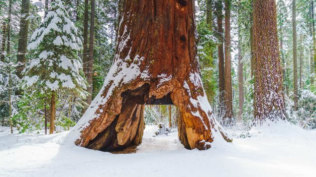 This undated photo provided courtesy of the California State Parks shows the famous Pioneer Cabin Tree in Calaveras Big Trees State Park in Arnold, California. On January 8, 2017, rain storms lashing Northern California in recent days toppled the historic tree that was a major tourist attraction for its hollowed out trunk which cars could drive through. Thought to be more than 1,000 years old, the Pioneer Cabin Tree, a giant sequoia in Calaveras Big Trees State Park, was felled over the weekend, park officials said.
