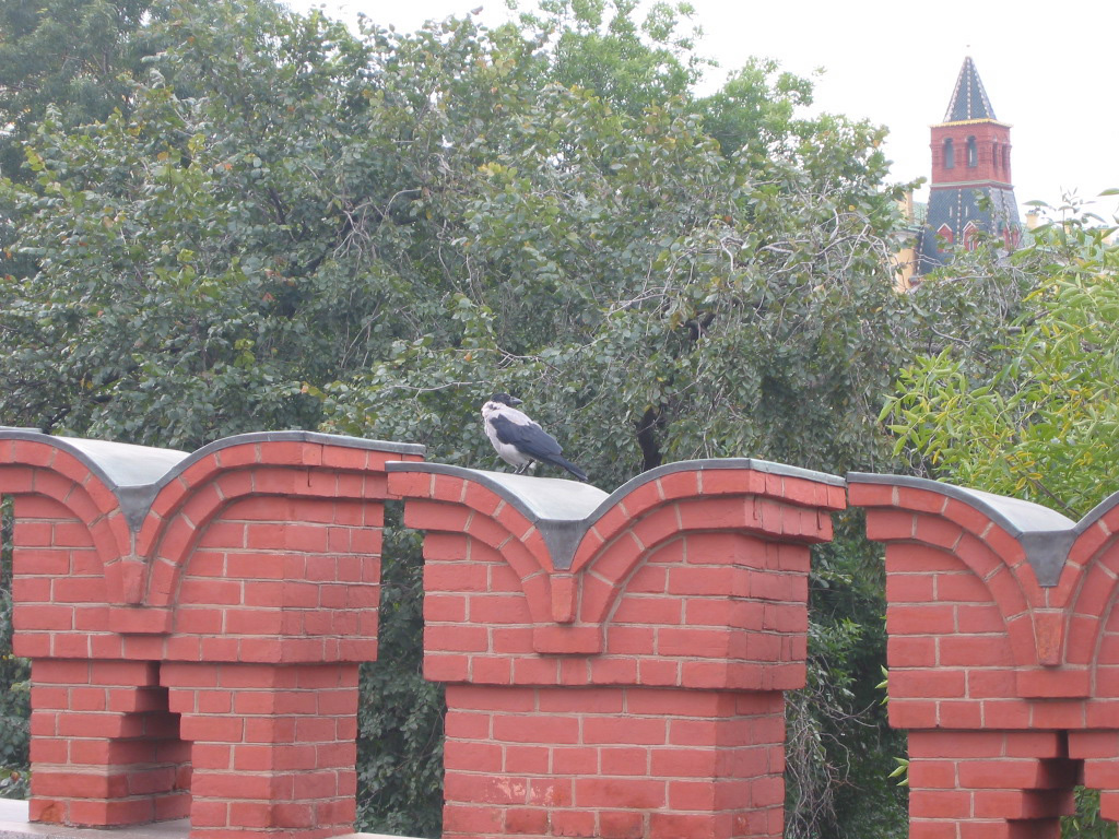 A raven lands on one of the distinctive notches of the Kremlin Wall; a Kremlin tower is in the distance. The original walls guarding Russia's heart date back to 1156.