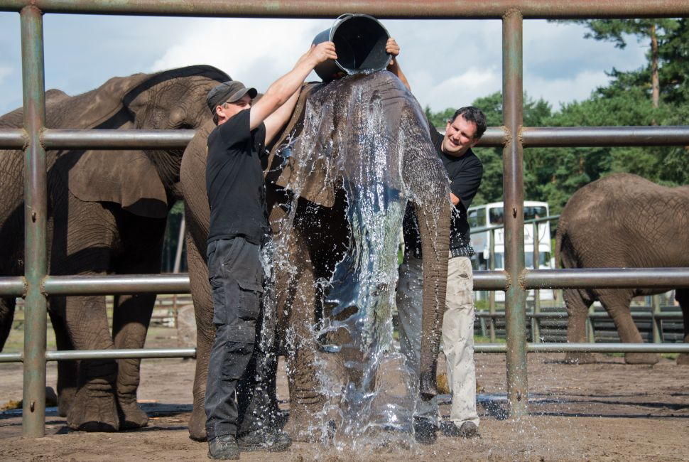 Animal keepers Frithjof Behlau (L) und Oliver Kant of central German wild life Serengeti Park Hodenhagen pour a bucket of water onto female elephant Nelly during an Ice Bucket Challenge on August 25, 2014. The Ice Bucket Challenge is an initiative to raise awareness and funds for Amyotrophic Lateral Sclerosis (ALS) also known as Motor Neuron Disease (MND). People all over the world have already participated in the challenge, elephant Nelly however omitted the ice in the water. AFP PHOTO / DPA / JULIAN STRATENSCHULTE +++ GERMANY OUT (Photo credit should read JULIAN STRATENSCHULTE/AFP/Getty Images)