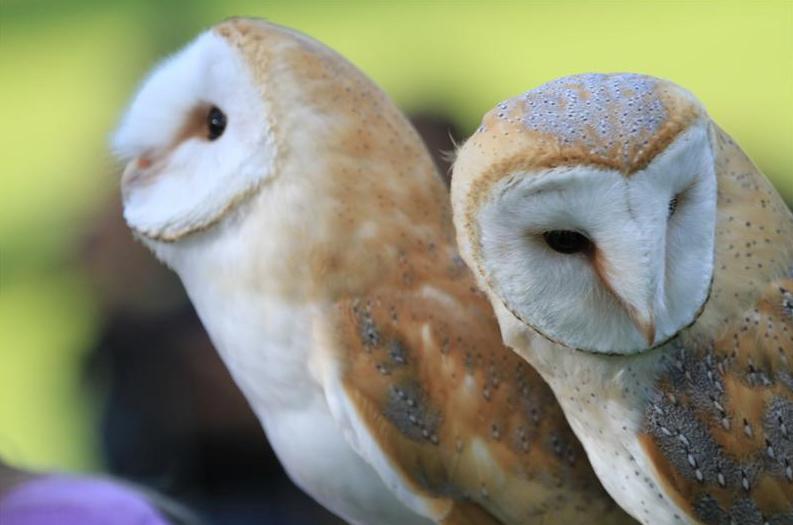ireland owls