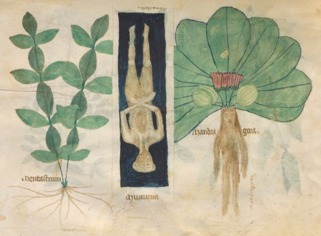 Mint, Mummy, and Mandrake, from Compendium Salernitanum, Northern Italy, possibly Venice, 1350-137. The Morgan Library & Museum, MS M.873, fol. 61v. Photography by Graham S. Haber, 2017.