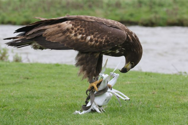 Drones: no match for eagles.