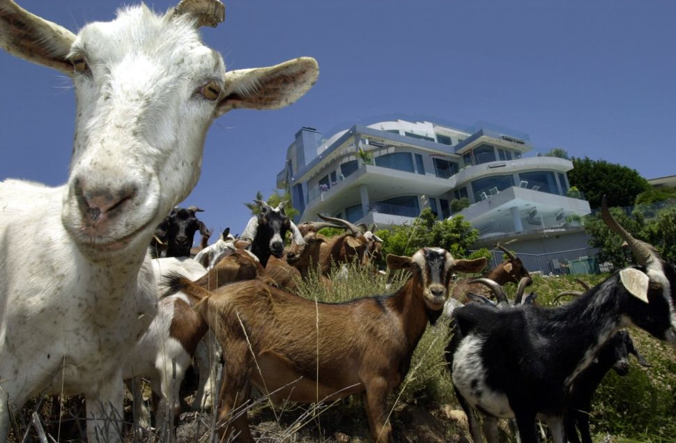 Welcome to #Goatgate.