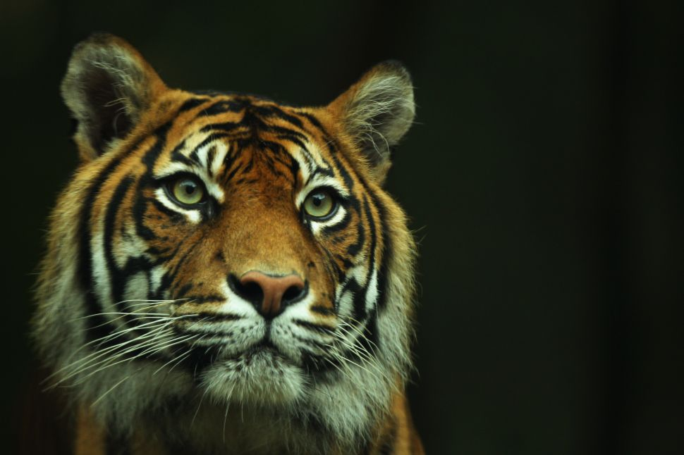 It's not illegal—and actually terrifyingly easy—to buy or sell a tiger in the United States.