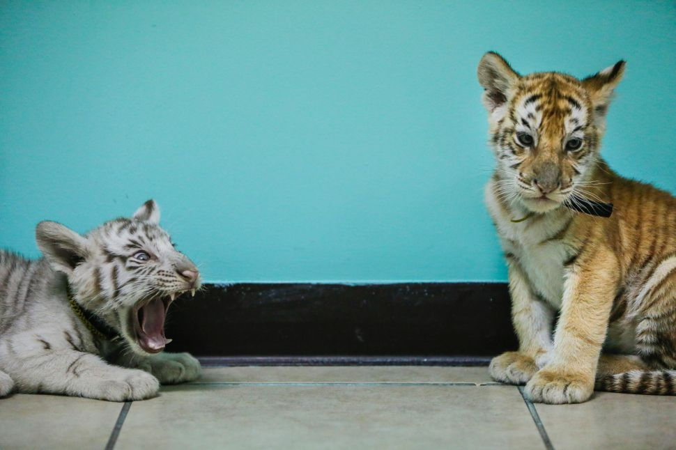 Ferocious feline or cuddly cat? Tiger cubs can grow up to be 500-pound beasts.