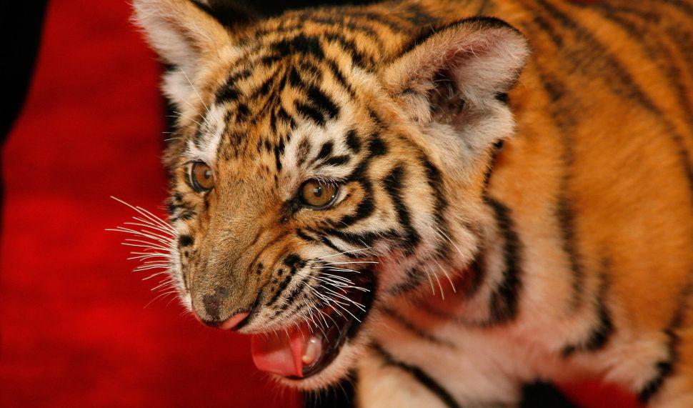 Magician Rick Thomas brought his tiger Chaos to the 2007 World Magic Awards.