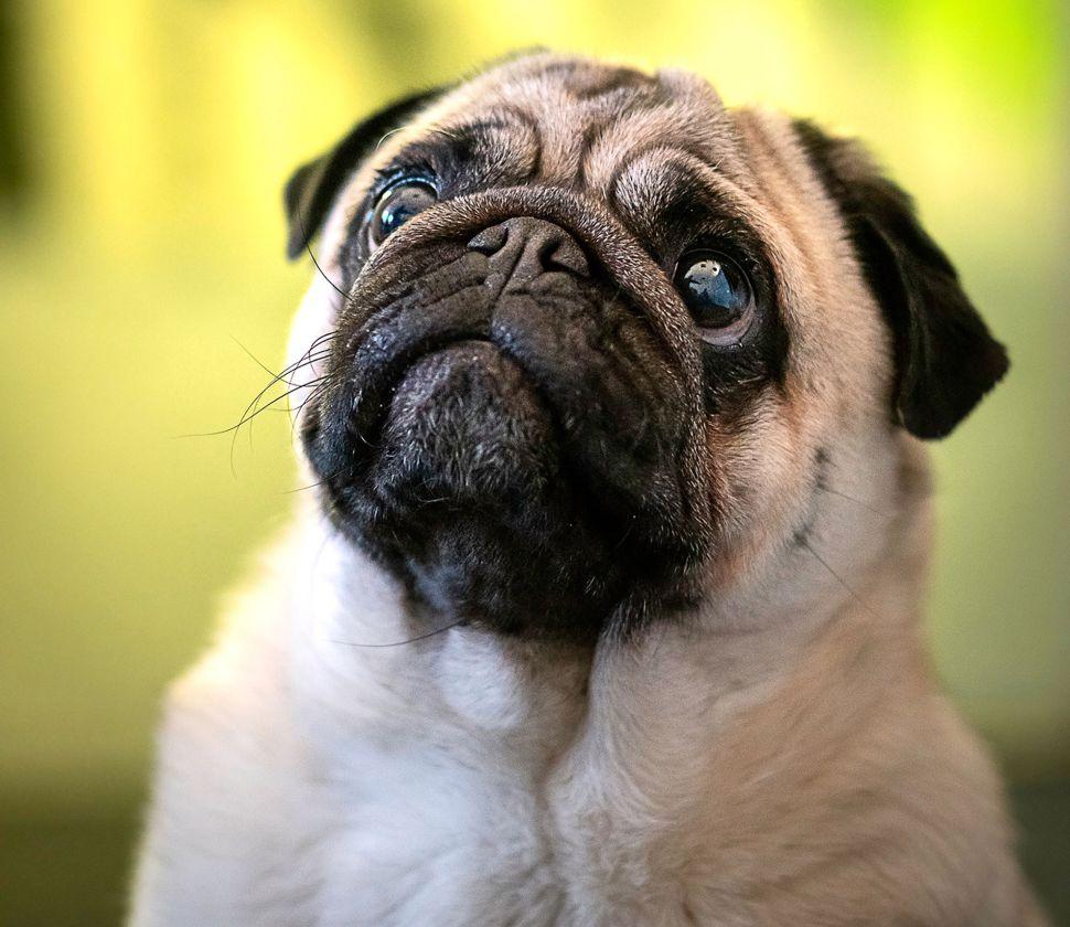 pug puppy dog eyes