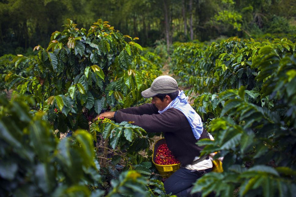 Farm workers in Colombia help make the country one of the world's largest producers of coffee beans.