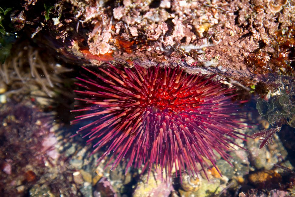 A purple sea urchin in a tidal pool.