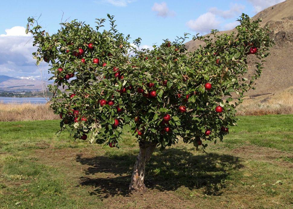 A Cosmic Crip apple tree.