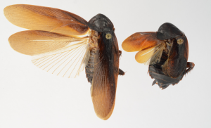 Male (left) and female Periplaneta japonica were found on New York City's High Line (Photo: Lyle Buss, University of Florida).